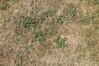 Closeup of lawn that died as the result of poor irrigation